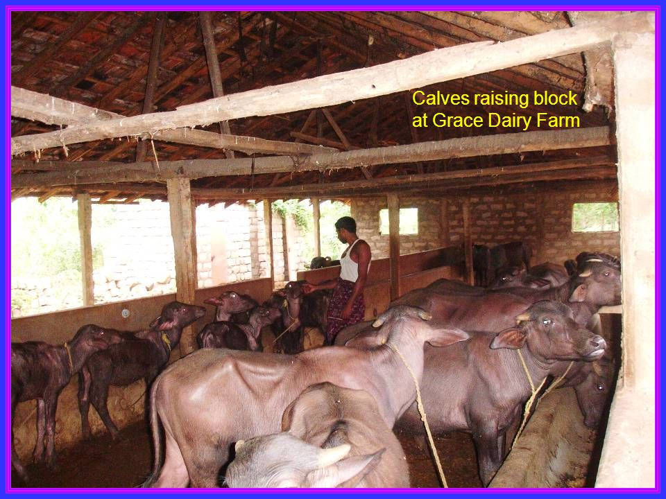 Calves raising block at Grace Dairy Farm