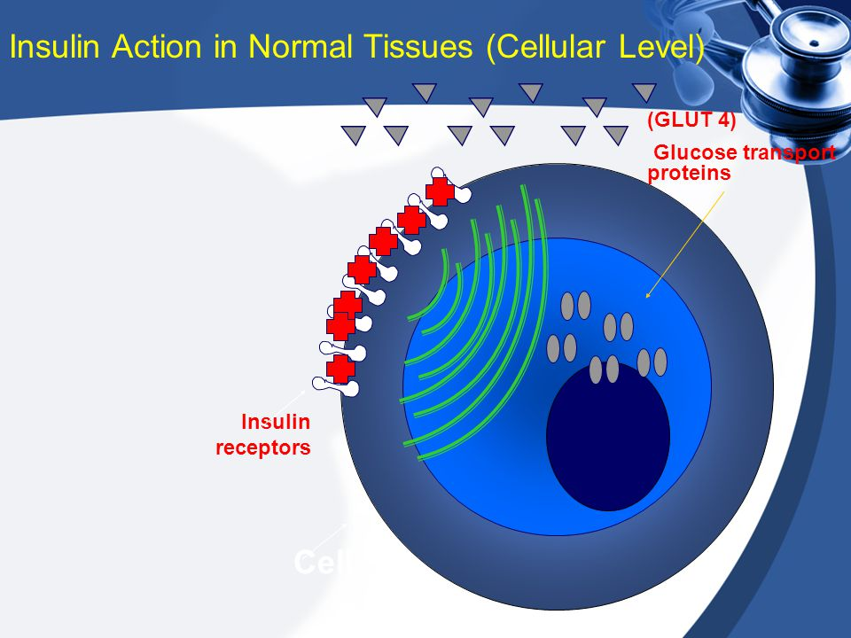 Insulin receptors (GLUT 4) Glucose transport proteins Insulin Action in Normal Tissues (Cellular Level) Cell