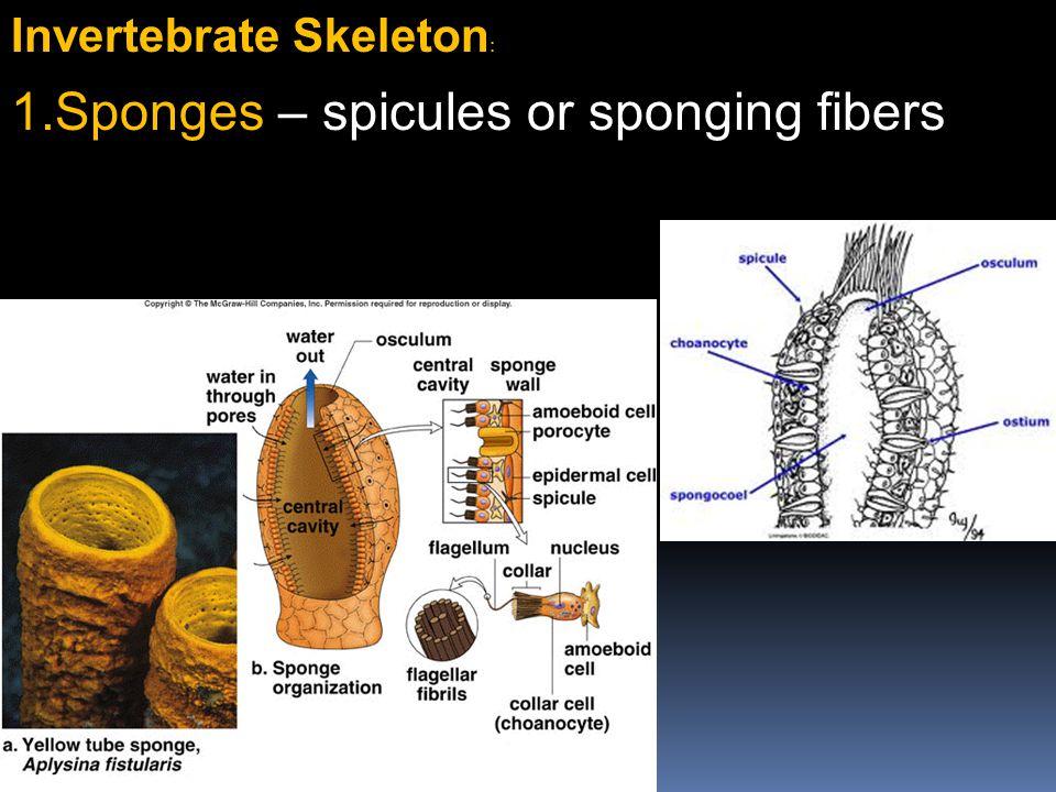 Invertebrate Skeleton : 1.Sponges – spicules or sponging fibers