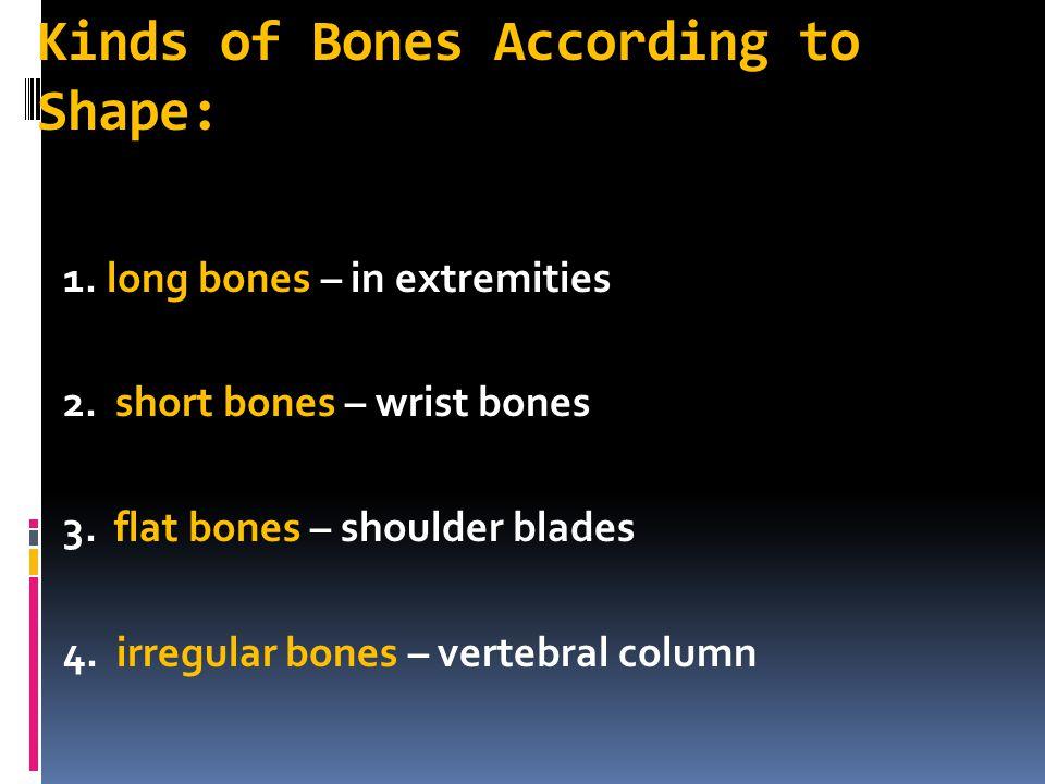 Kinds of Bones According to Shape: 1. long bones – in extremities 2. short bones – wrist bones 3. flat bones – shoulder blades 4. irregular bones – ve