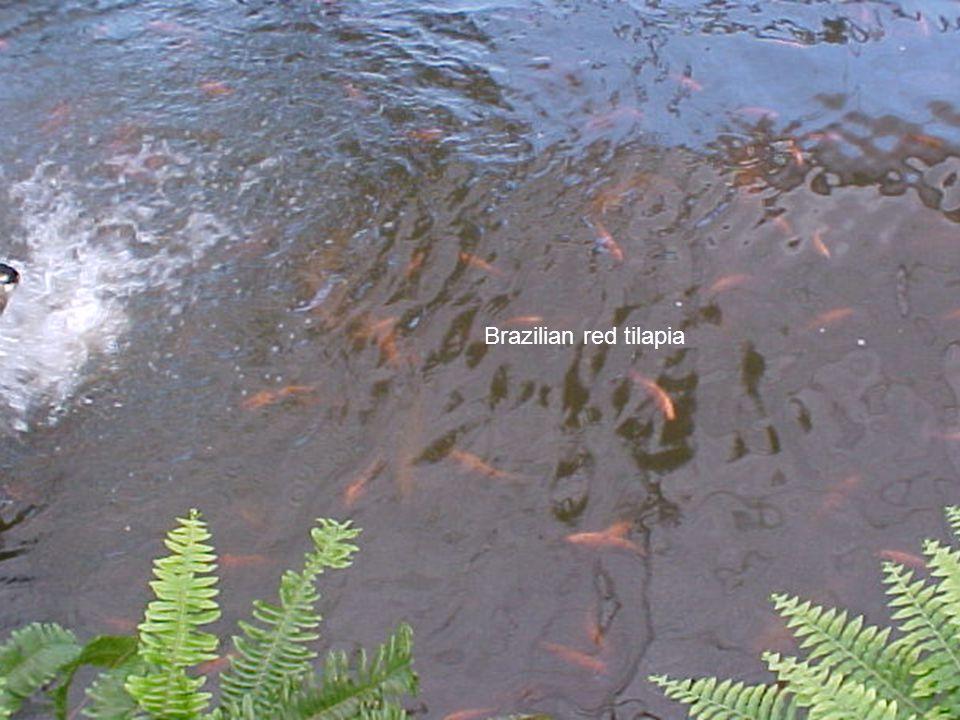 Brazilian red tilapia