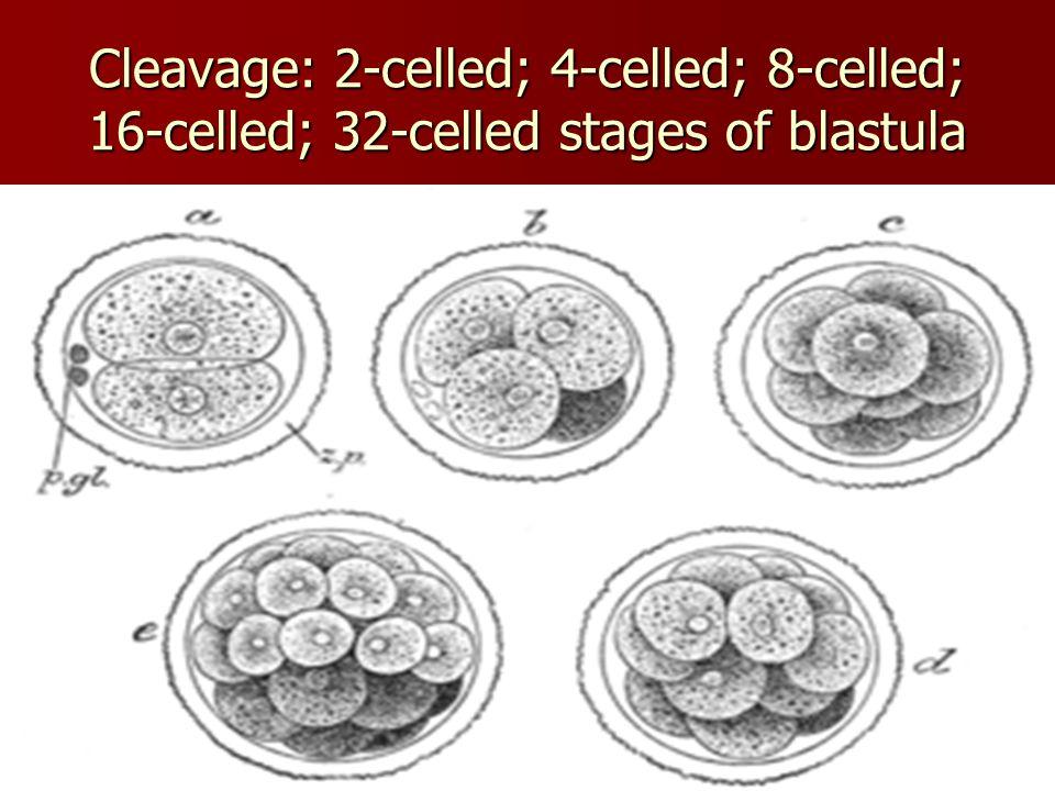 Cleavage: 2-celled; 4-celled; 8-celled; 16-celled; 32-celled stages of blastula