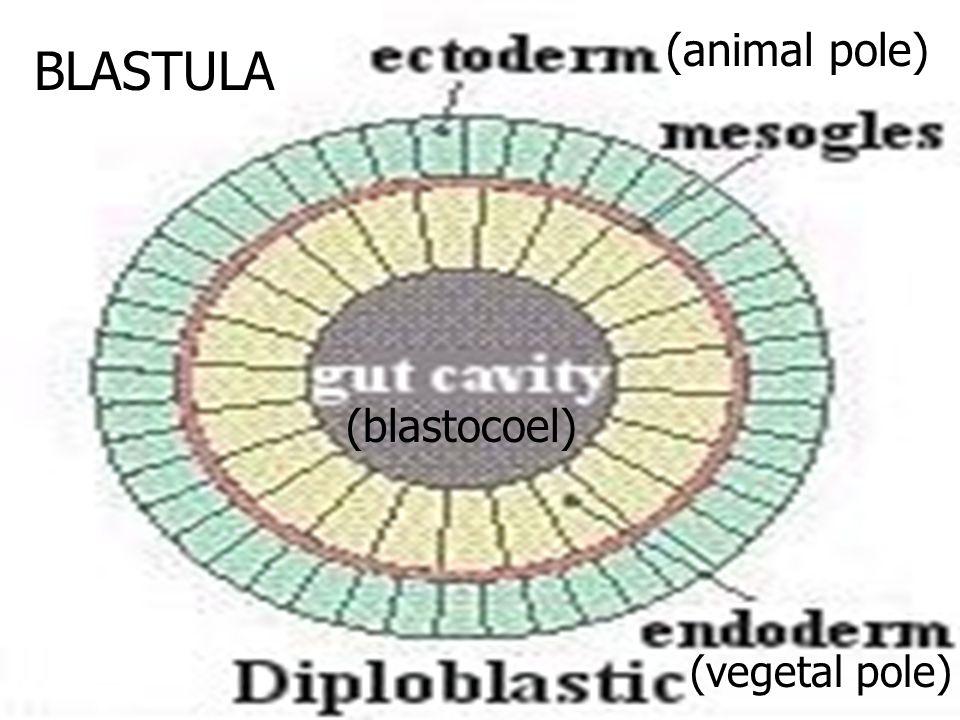 BLASTULA (animal pole) (vegetal pole) (blastocoel)