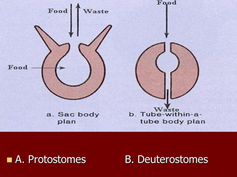 A. ProtostomesB. Deuterostomes A. ProtostomesB. Deuterostomes