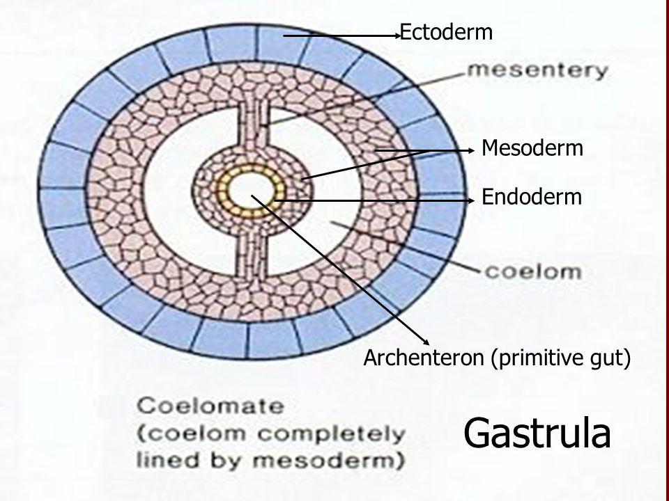 Ectoderm Endoderm Mesoderm Gastrula Archenteron (primitive gut)