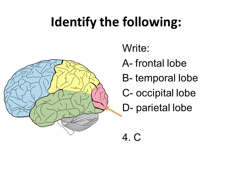 Identify the following: Write: A- frontal lobe B- temporal lobe C- occipital lobe D- parietal lobe 4.