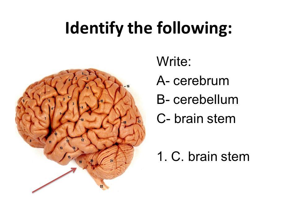 Identify the following: Write: A- cerebrum B- cerebellum C- brain stem 2. A. cerebrum