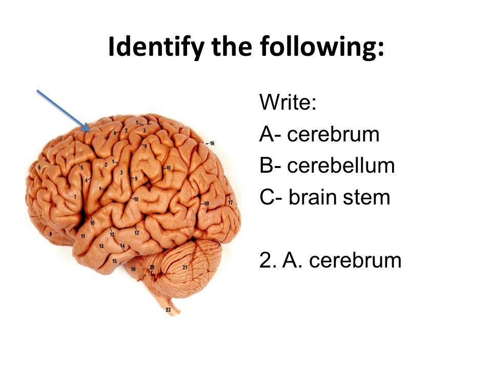 Identify the following: Write: A- cerebrum B- cerebellum C- brain stem 3. B. cerebellum