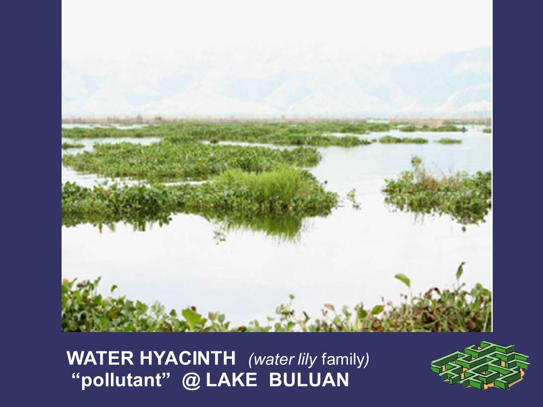 WATER HYACINTH (water lily family) pollutant @ LAKE BULUAN