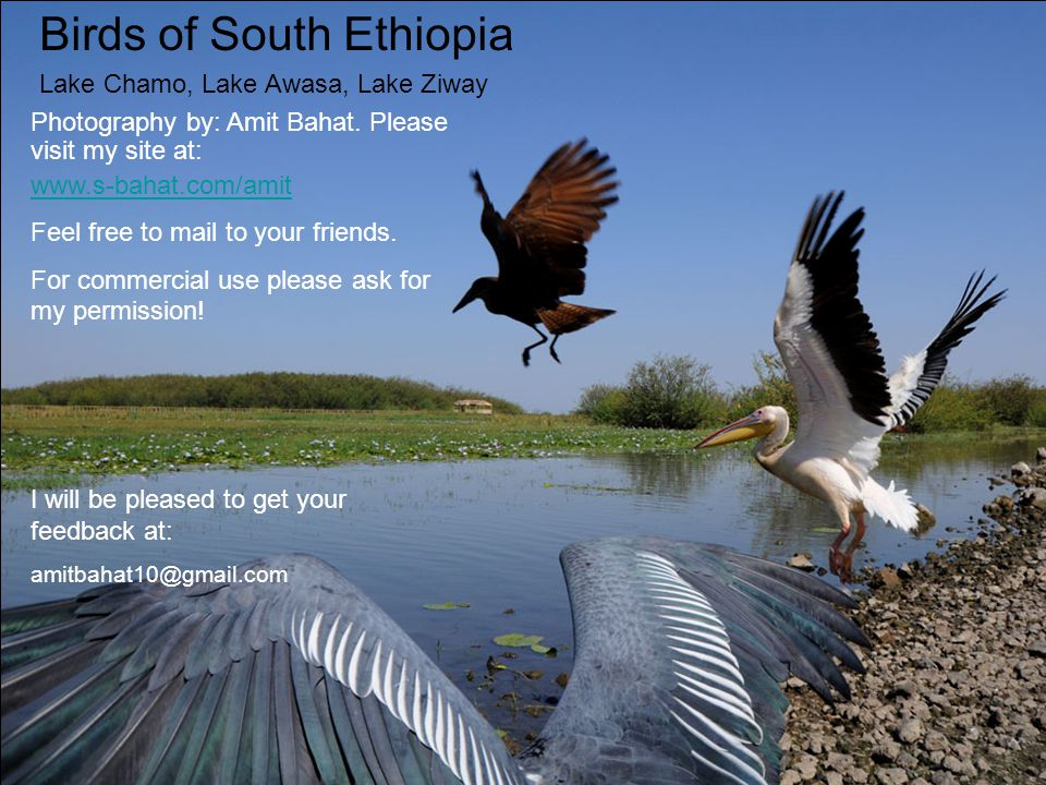 Birds of South Ethiopia Lake Chamo, Lake Awasa, Lake Ziway Photography by: Amit Bahat.