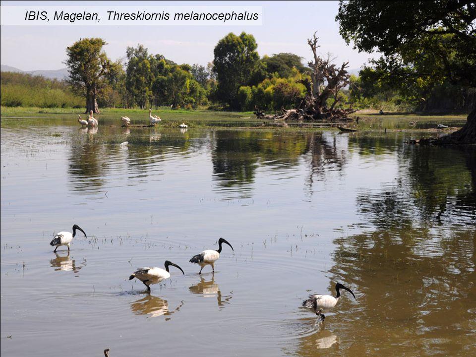 IBIS, Magelan, Threskiornis melanocephalus