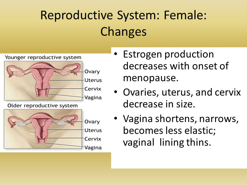 Reproductive System: Female: Changes Estrogen production decreases with onset of menopause. Ovaries, uterus, and cervix decrease in size. Vagina short