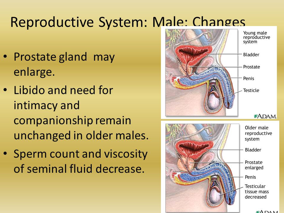 Reproductive System: Male: Changes Prostate gland may enlarge. Libido and need for intimacy and companionship remain unchanged in older males. Sperm c