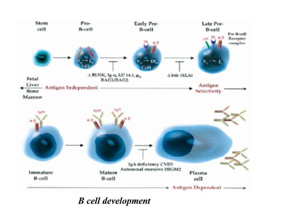 B cell development
