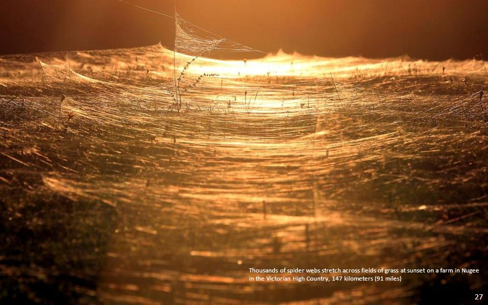Thousands of spider webs stretch across fields of grass at sunset on a farm in Nugee in the Victorian High Country, 147 kilometers (91 miles) 27