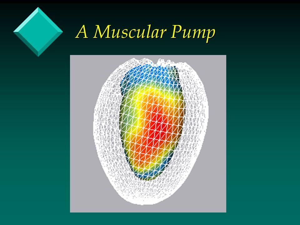 A Muscular Pump