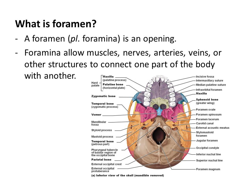 What is foramen? -A foramen (pl. foramina) is an opening. -Foramina allow muscles, nerves, arteries, veins, or other structures to connect one part of