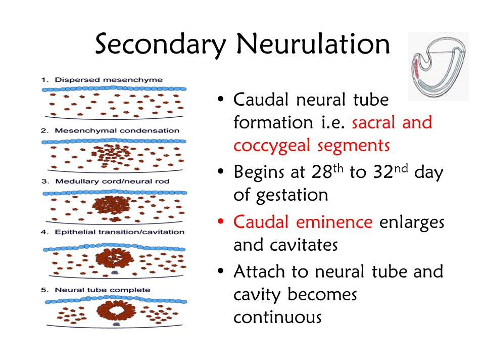 Neural Crest The neural crest cells give rise to the following structures –Dorsal root ganglia –Sensory ganglia of cranial nerves (CN V, VII, IX, X) –
