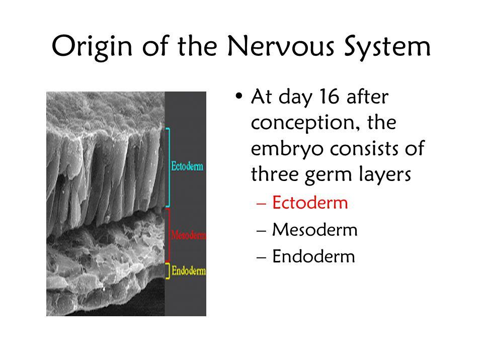 The DEVELOPMENT of the NERVOUS SYSTEM Joselito B. Diaz, MD, FPNA COLLEGE OF REHABILITATION SCIENCES