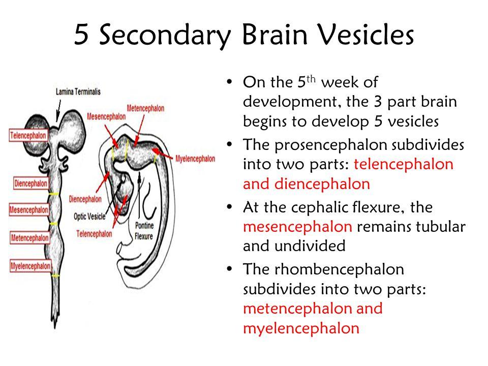 Primary Brain Vesicles 3 primary brain vesicles –Prosencephalon (forebrain) –Mesencephalon (midbrain) –Rhombencephalon (hindbrain) The caudal portion