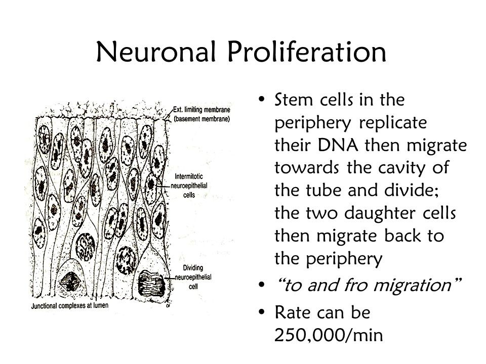 Neuroepithelium After closure, cells of the original single layered tube divide to form a pseudostratified neuroepithelium Also known as matrix cells