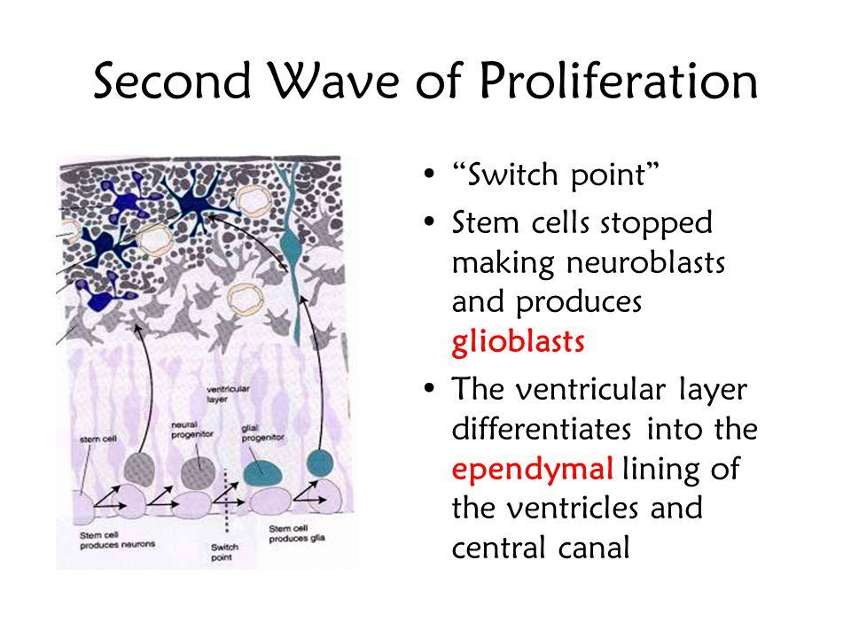 Ventricular or germinal zone Intermediate or mantle zone