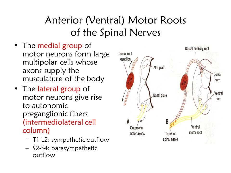 Spinal Cord Development The neuroblasts in the basal plate will give rise to the motor neurons of the of the anterior horn The neuroblasts in the alar