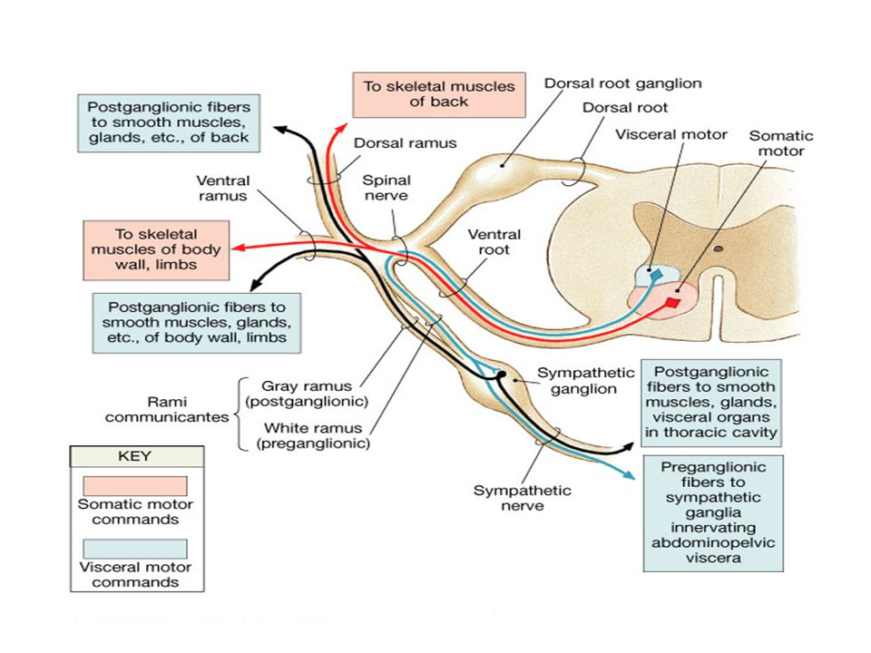 Anterior (Ventral) Motor Roots of the Spinal Nerves The medial group of motor neurons form large multipolar cells whose axons supply the musculature o