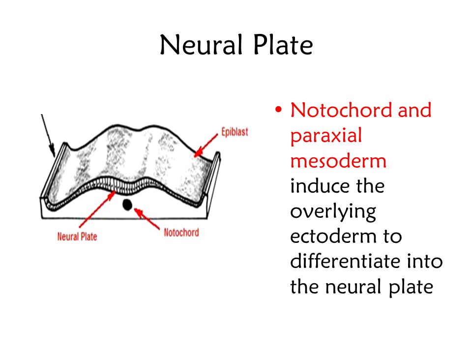 Neural Plate 3 rd week of development, in the dorsum of the embryo, a pear-shaped ectodermal plate rostral to the primitive knot developed The nervous