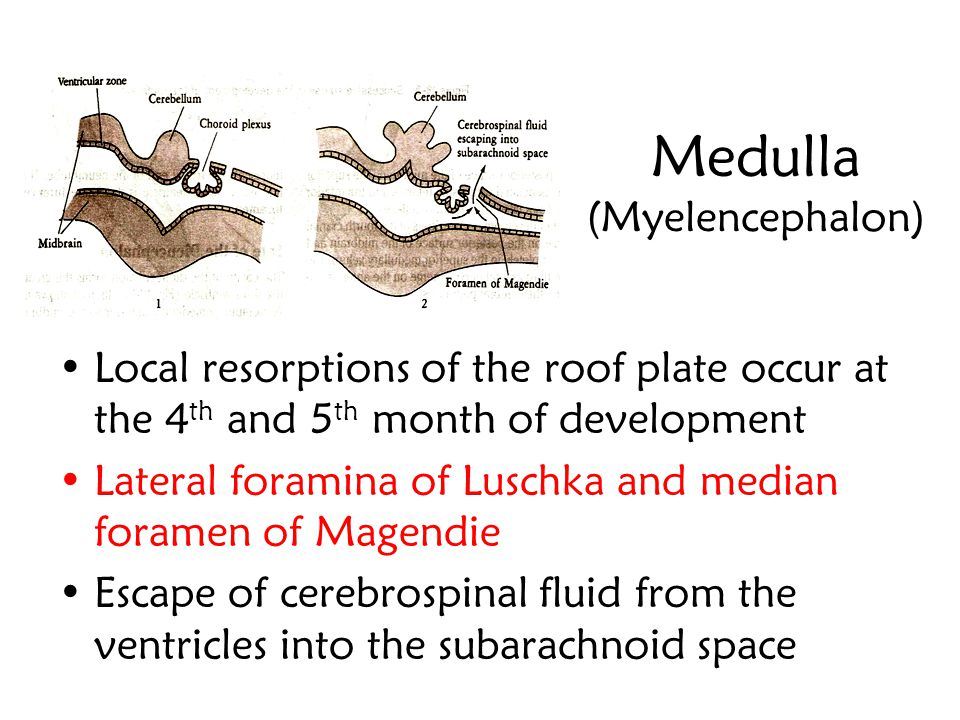 Medulla (Myelencephalon) The roof plate of the myelencephalon consists of a single layer of ependymal cells covered by a vascular mesenchyme, the pia