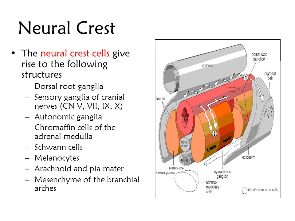 Neural Crest Cells from the lateral margin of the deepening neural groove Not incorporated in the neural tube but forms temporarily a strip of ectoder