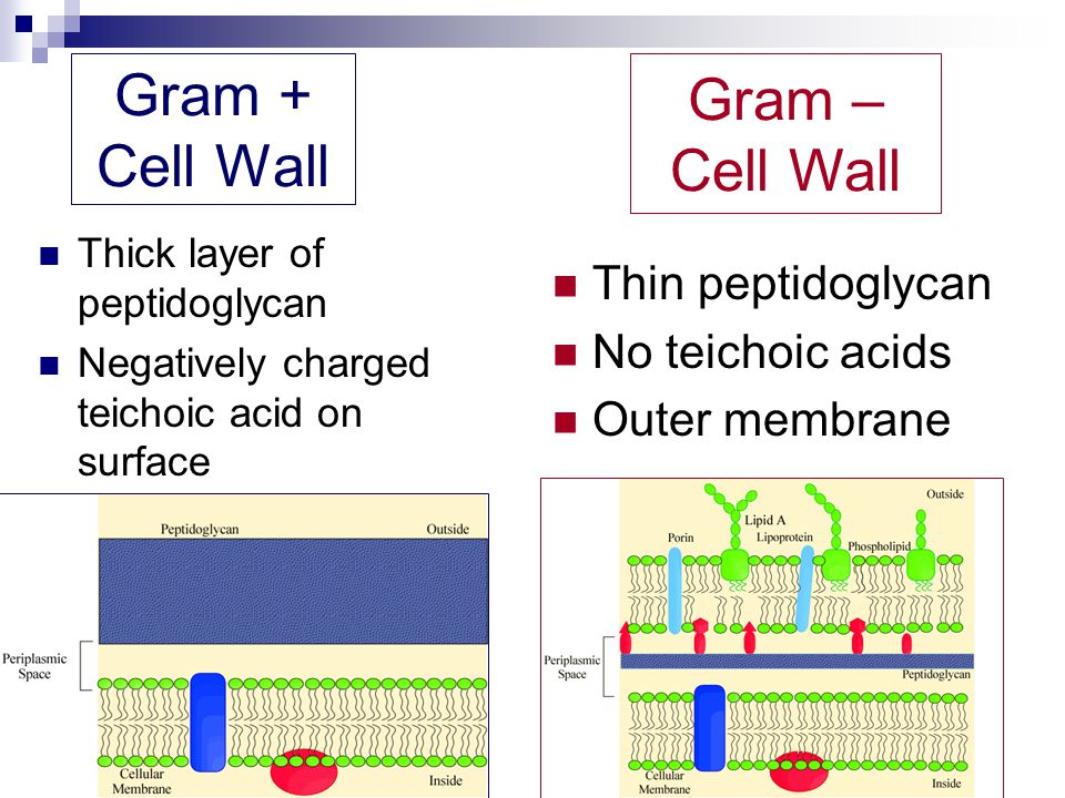 Gram + Cell Wall Thick layer of peptidoglycan Negatively charged teichoic acid on surface Thin peptidoglycan No teichoic acids Outer membrane Gram – C