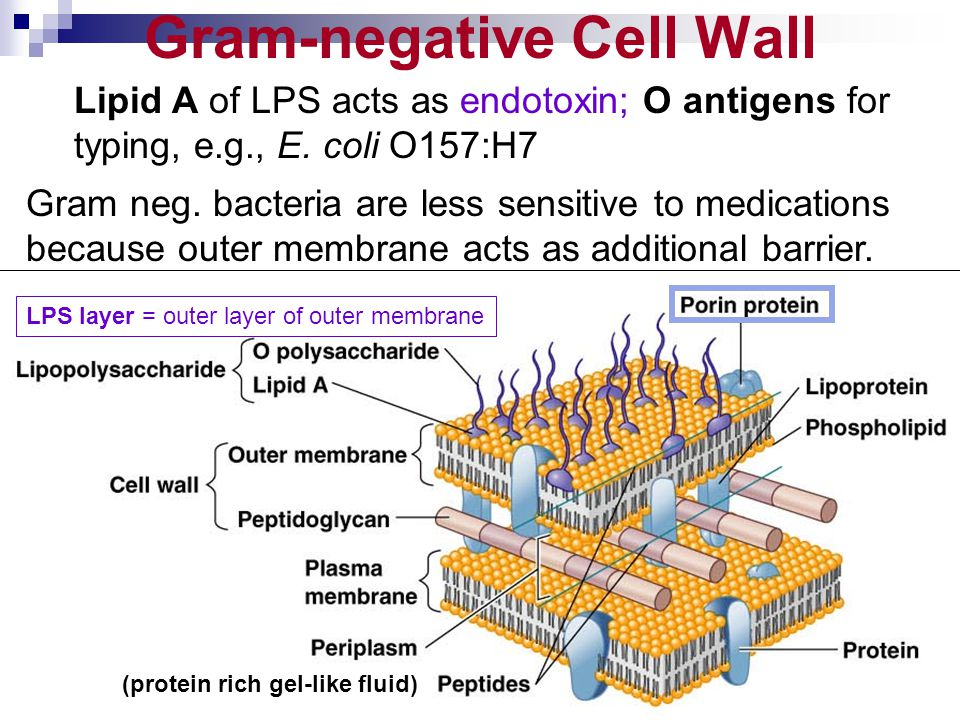 Gram-negative Cell Wall Lipid A of LPS acts as endotoxin; O antigens for typing, e.g., E. coli O157:H7 Gram neg. bacteria are less sensitive to medica