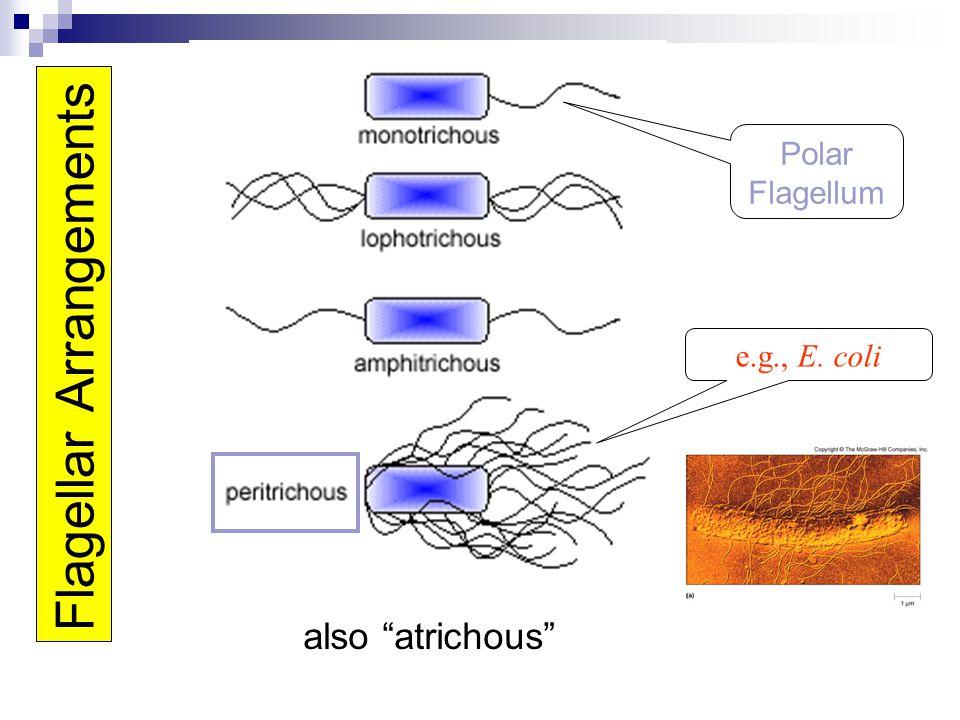 "Flagellar Arrangements also ""atrichous"" e.g., E. coli Polar Flagellum"