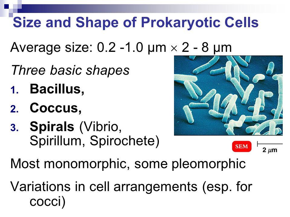 Size and Shape of Prokaryotic Cells Average size: 0.2 -1.0 µm  2 - 8 µm Three basic shapes 1. Bacillus, 2. Coccus, 3. Spirals (Vibrio, Spirillum, Spi