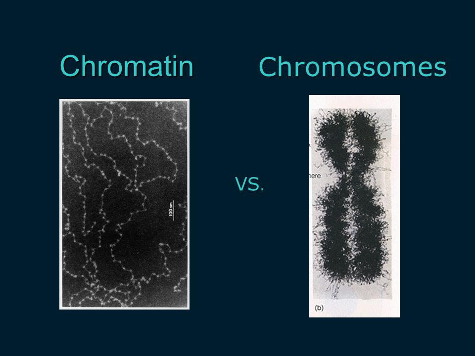 Chromatin VS. Chromosomes