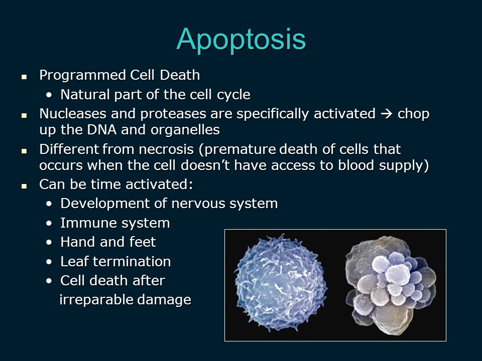 Apoptosis Programmed Cell Death Programmed Cell Death Natural part of the cell cycleNatural part of the cell cycle Nucleases and proteases are specifically activated  chop up the DNA and organelles Nucleases and proteases are specifically activated  chop up the DNA and organelles Different from necrosis (premature death of cells that occurs when the cell doesn't have access to blood supply) Different from necrosis (premature death of cells that occurs when the cell doesn't have access to blood supply) Can be time activated: Can be time activated: Development of nervous systemDevelopment of nervous system Immune systemImmune system Hand and feetHand and feet Leaf terminationLeaf termination Cell death afterCell death after irreparable damage irreparable damage