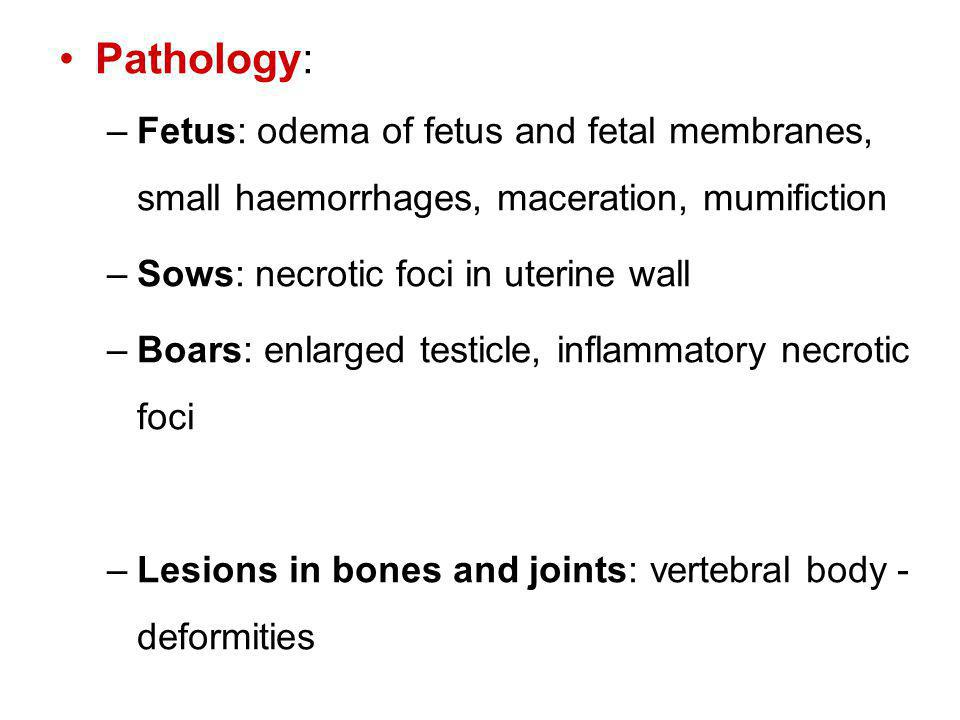 Pathology: –Fetus: odema of fetus and fetal membranes, small haemorrhages, maceration, mumifiction –Sows: necrotic foci in uterine wall –Boars: enlarged testicle, inflammatory necrotic foci –Lesions in bones and joints: vertebral body - deformities