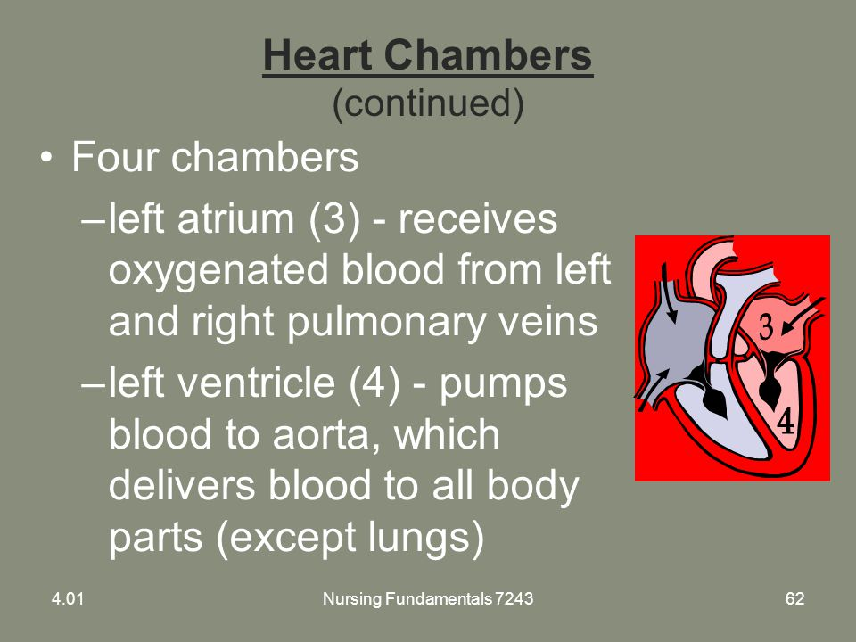 Nursing Fundamentals 724362 Heart Chambers (continued) Four chambers –left atrium (3) - receives oxygenated blood from left and right pulmonary veins