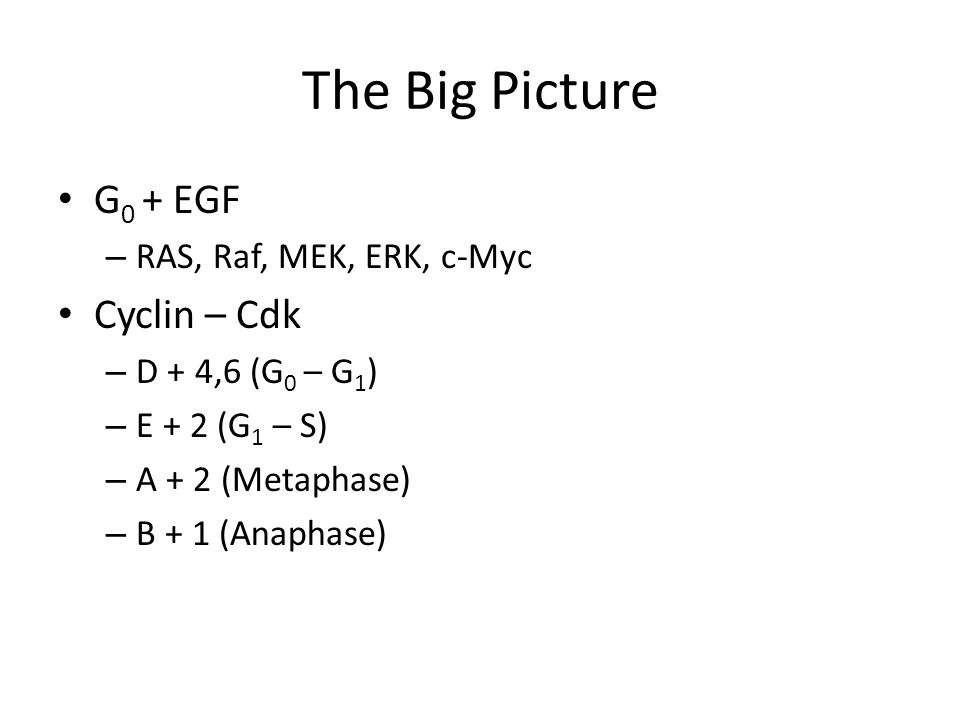 The Big Picture G 0 + EGF – RAS, Raf, MEK, ERK, c-Myc Cyclin – Cdk – D + 4,6 (G 0 – G 1 ) – E + 2 (G 1 – S) – A + 2 (Metaphase) – B + 1 (Anaphase)
