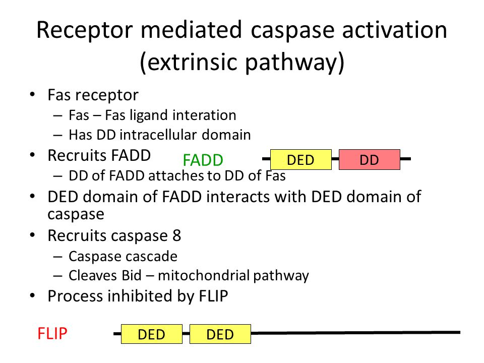 Receptor mediated caspase activation (extrinsic pathway) Fas receptor – Fas – Fas ligand interation – Has DD intracellular domain Recruits FADD – DD of FADD attaches to DD of Fas DED domain of FADD interacts with DED domain of caspase Recruits caspase 8 – Caspase cascade – Cleaves Bid – mitochondrial pathway Process inhibited by FLIP DEDDD FADD DED FLIP