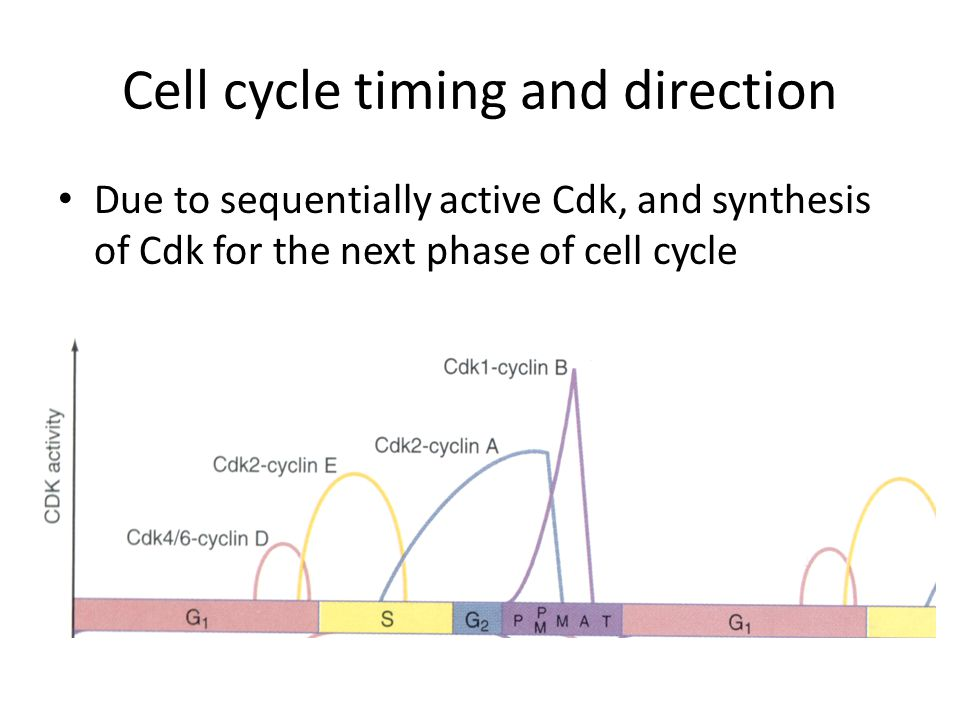 Cell cycle timing and direction Due to sequentially active Cdk, and synthesis of Cdk for the next phase of cell cycle