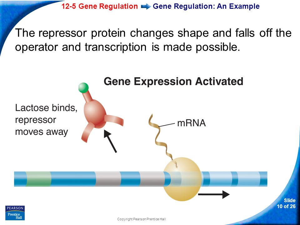 12-5 Gene Regulation Slide 10 of 26 Copyright Pearson Prentice Hall Gene Regulation: An Example The repressor protein changes shape and falls off the