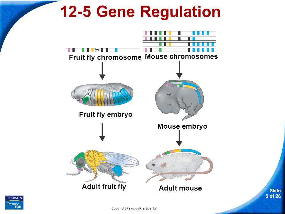 12-5 Gene Regulation Slide 13 of 26 Copyright Pearson Prentice Hall Eukaryotic Gene Regulation Operons are generally not found in eukaryotes.