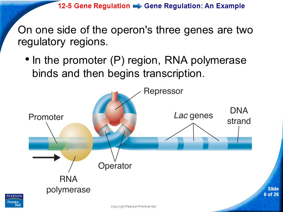 12-5 Gene Regulation Slide 6 of 26 Copyright Pearson Prentice Hall Gene Regulation: An Example On one side of the operon's three genes are two regulat