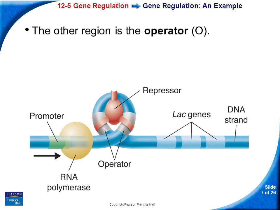 12-5 Gene Regulation Slide 8 of 26 Copyright Pearson Prentice Hall Gene Regulation: An Example When the lac repressor binds to the O region, transcription is not possible.
