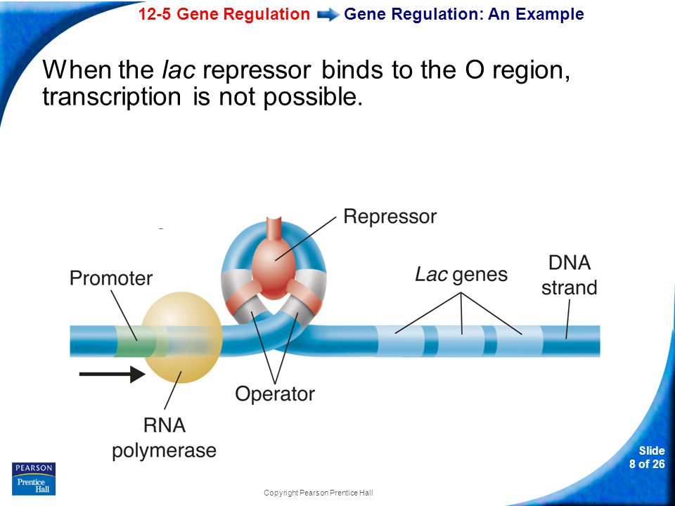 12-5 Gene Regulation Slide 19 of 26 Copyright Pearson Prentice Hall Development and Differentiation Careful control of expression in hox genes is essential for normal development.