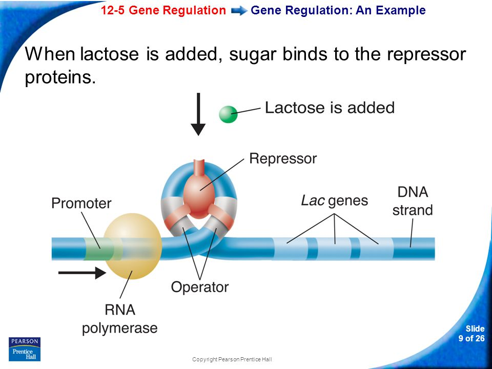 12-5 Gene Regulation Slide 10 of 26 Copyright Pearson Prentice Hall Gene Regulation: An Example The repressor protein changes shape and falls off the operator and transcription is made possible.
