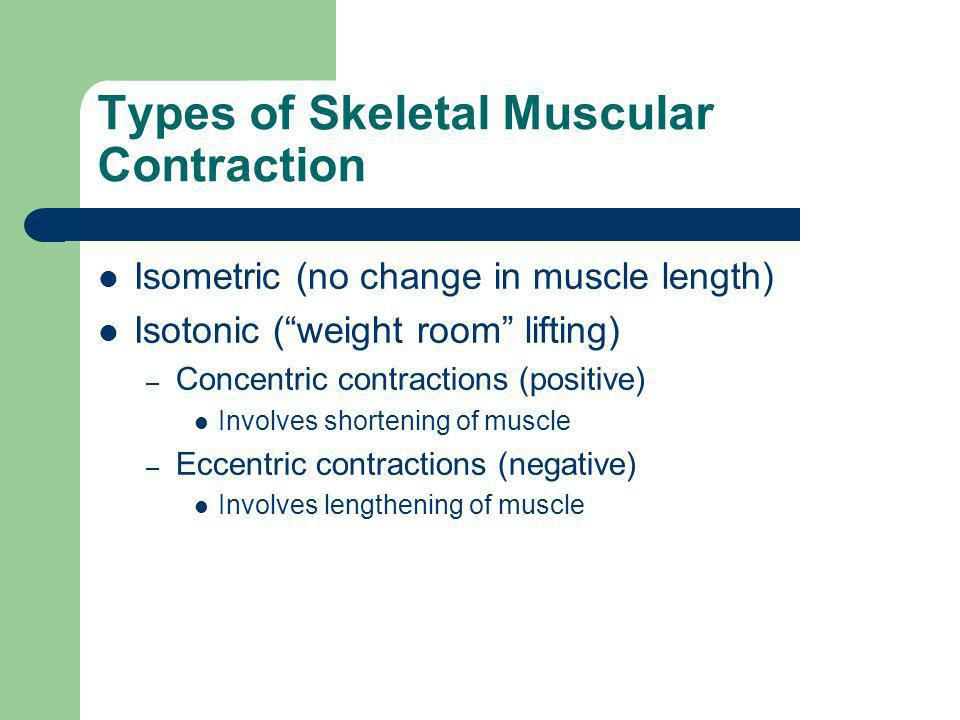 Types of Skeletal Muscular Contraction Isometric (no change in muscle length) Isotonic ( weight room lifting) – Concentric contractions (positive) Involves shortening of muscle – Eccentric contractions (negative) Involves lengthening of muscle