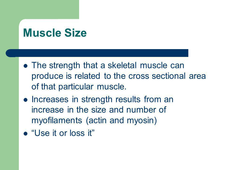 Muscle Size The strength that a skeletal muscle can produce is related to the cross sectional area of that particular muscle.
